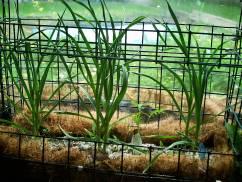 garlic in deep soil bins